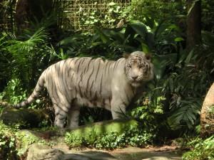 動物園にいたホワイトタイガー